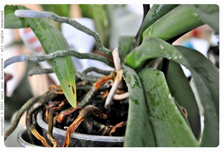 il vaso è la dimora delle orchidee