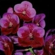 rinvaso orchidee