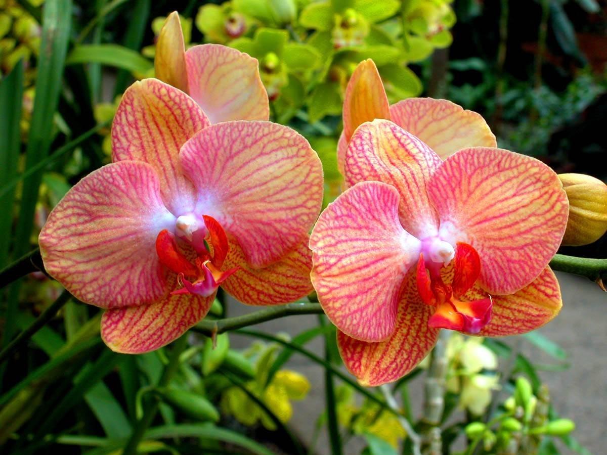 Rinvaso orchidee orchidee rinvaso orchidee metodo - Orchidee da appartamento ...