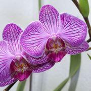 come trapiantare le orchidee