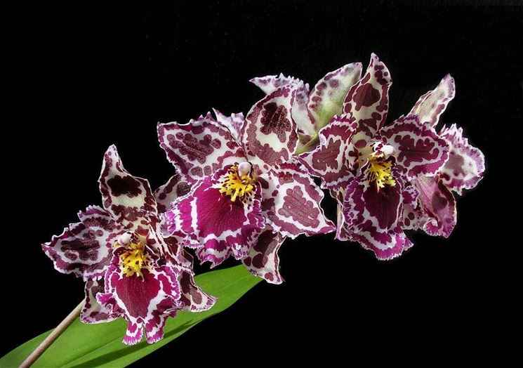 Orchidea: Odontoglossum