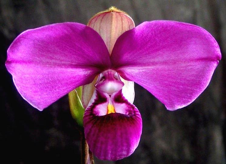 Orchidea Phragmipedium