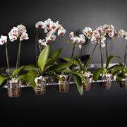 Phalaenopsis in vasi di plastica trasparente