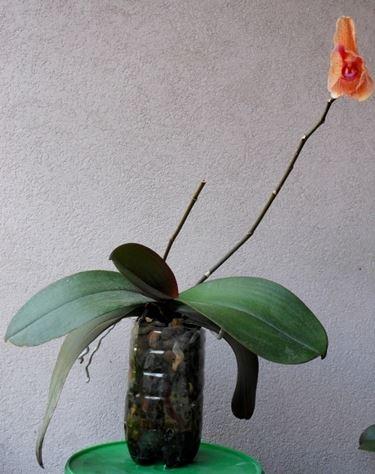 Orchidea coltivata in bottiglia di plastica