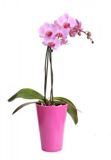 Coprivaso in tinta con la phalaenopsis