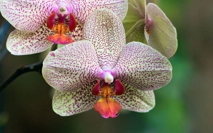 orchidea maculata.