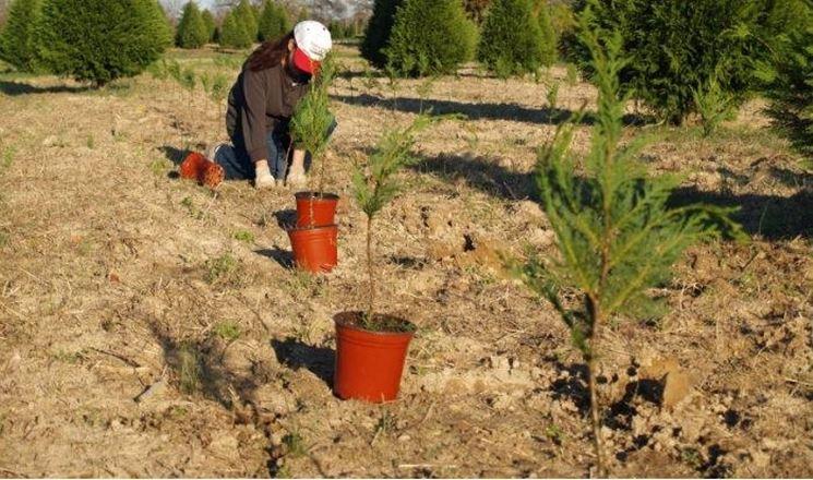 Alberi di Natale che vengono piantati