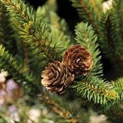 ramo di abete vero decorato