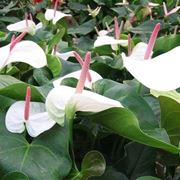 Piante di <strong>anthurium</strong> bianco