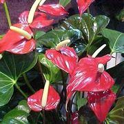Anthurium - pianta ornamentale da appartamento