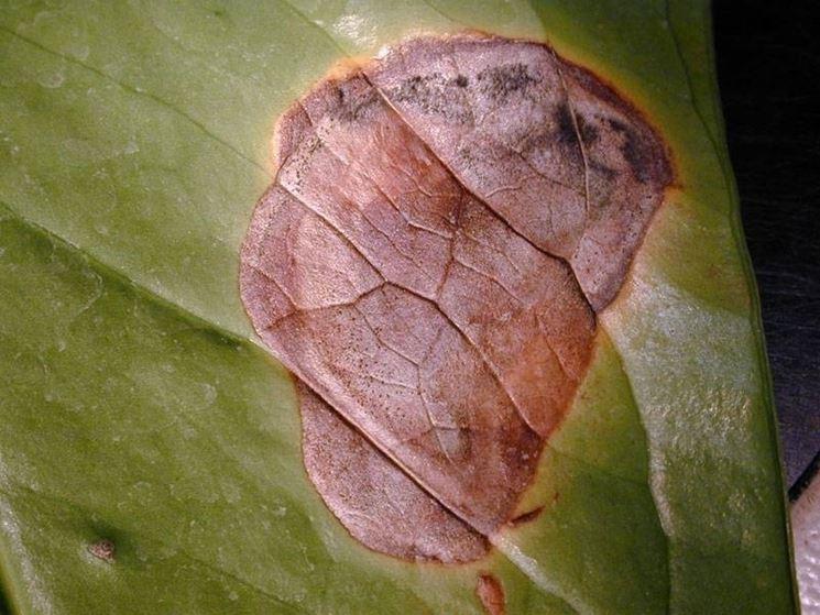 Anthurium - Ingiallimento foglie
