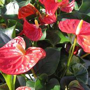fiore di Anthurium