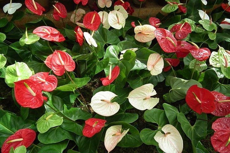 anthurium fioriti