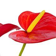 anthurium fiore