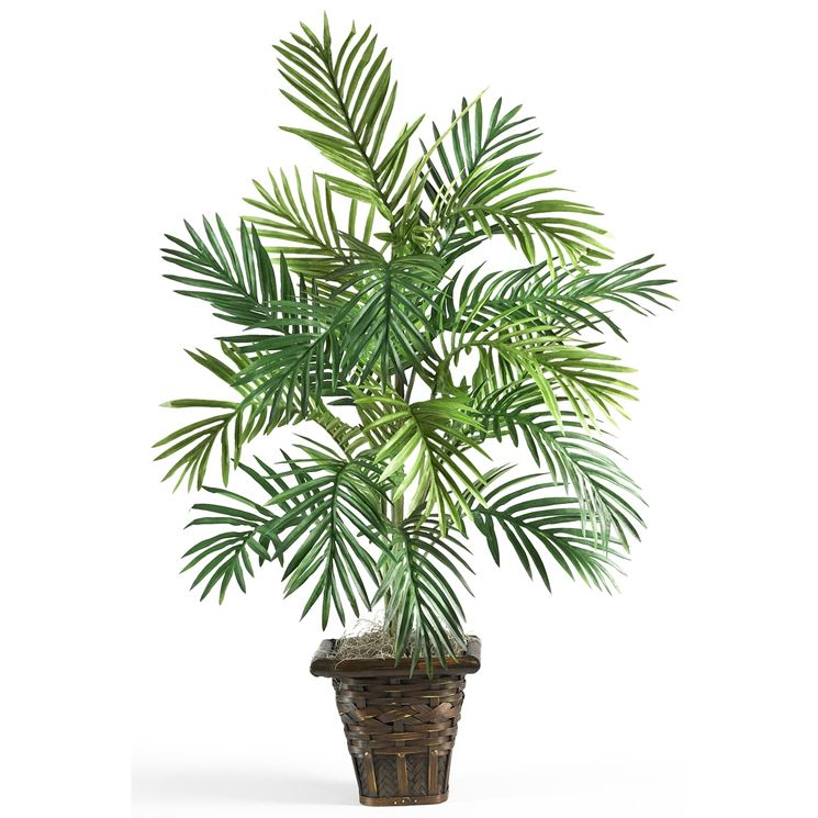 Areca Areca Catechu Chrysalidocarpus Lutescens