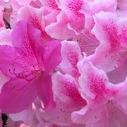 Azalee piante appartamento come curare le azalee - Azalee da esterno ...