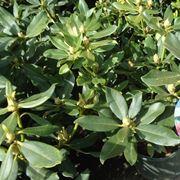 azalea pianta da interno o esterno