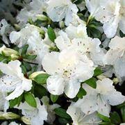 Azalee piante appartamento come curare le azalee - Gardenia pianta da interno o esterno ...