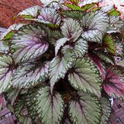 begonia cura