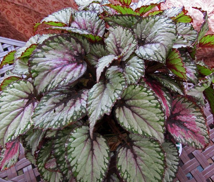 Piante Da Appartamento Begonia.Begonia Gigante Piante Appartamento Caratteristiche Della