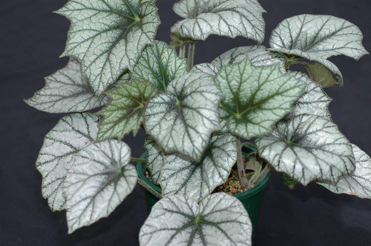 Begonia gigante