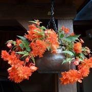 begonia fiore