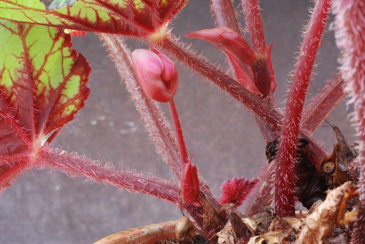 Dettaglio Begonia rex