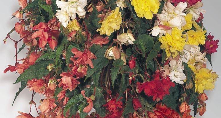 Composizione con begonie tuberose
