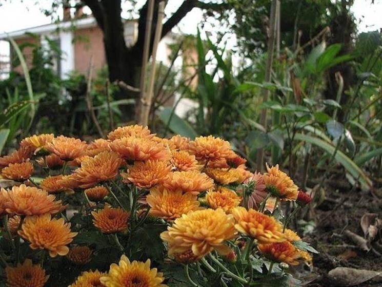 Begonia tuberosa arancione