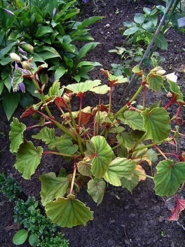 begonia grandis alba