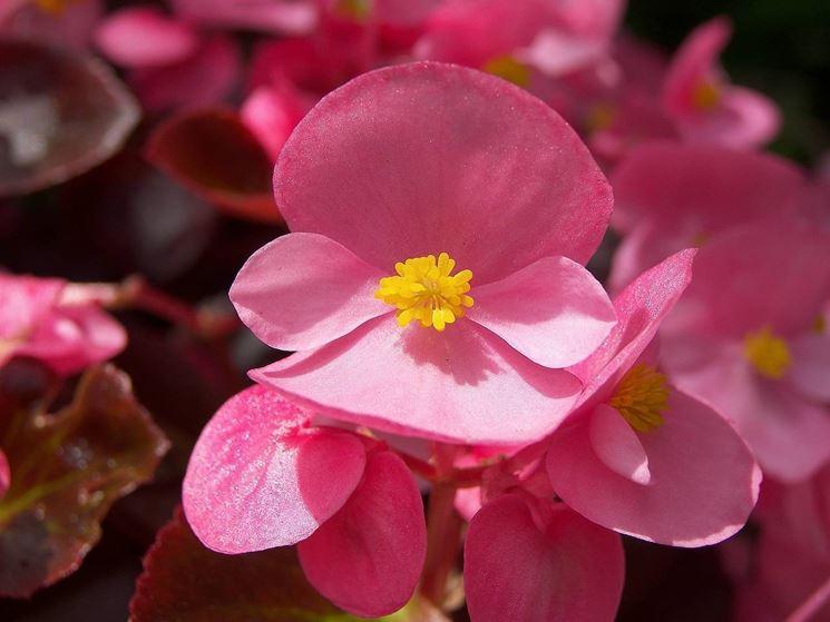 Fiore Begonia