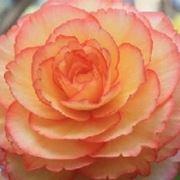 begonia tuberosa