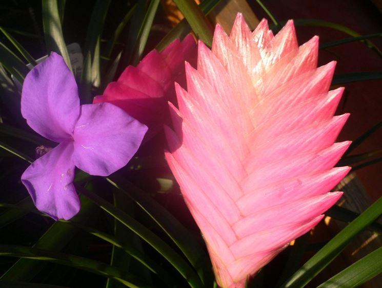 Bromelia rosa