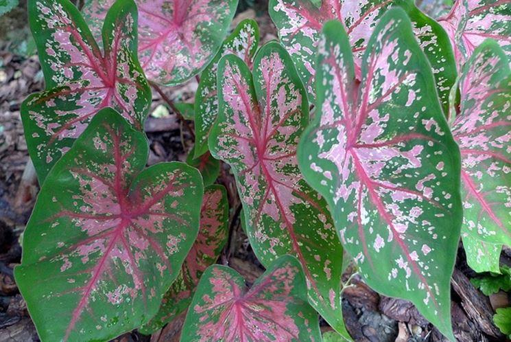 caladium foglie