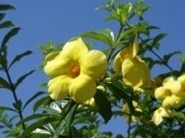 Un esempio di pianta di Calathea da appartamento tenuta in un vaso