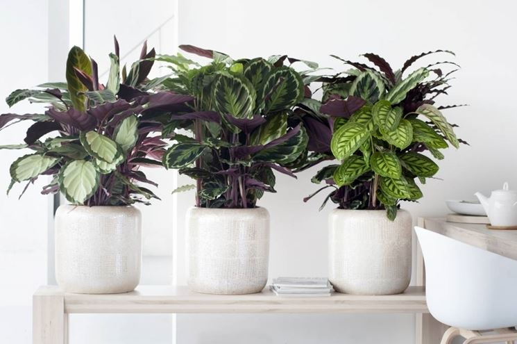 Calathea calathea piante appartamento calathea pianta for Maranta pianta