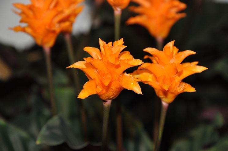 Clathea fiore arancio