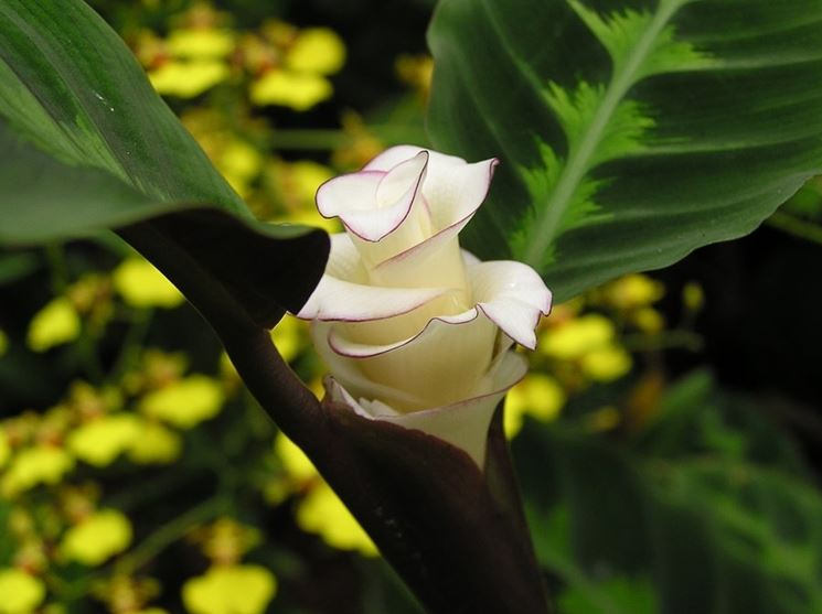 Calathea fiore bianco