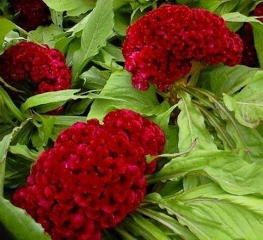Un esempio di fiore che troviamo sulle piante di Celosia.