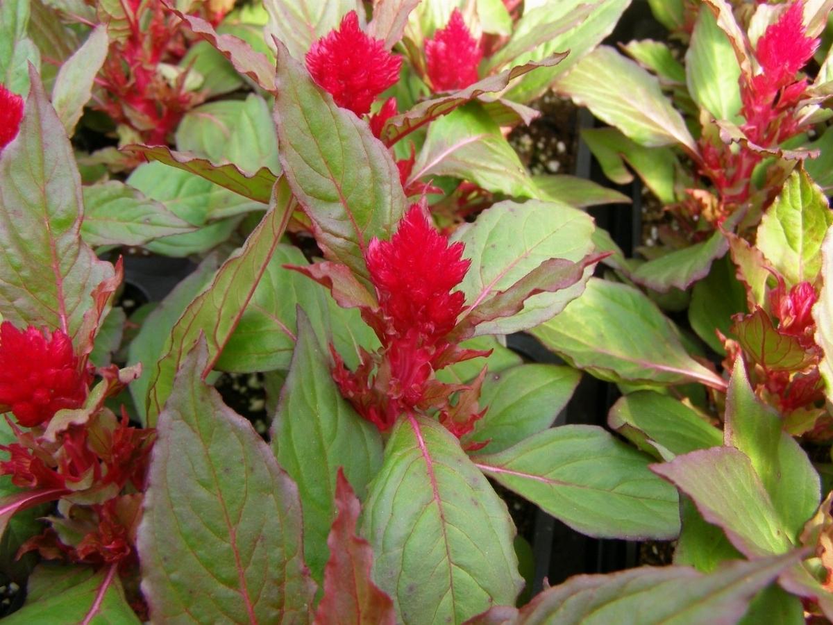 Celosia piante appartamento - Gardenia pianta da interno o esterno ...