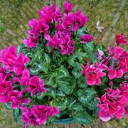 piante da appartamento: ciclamini