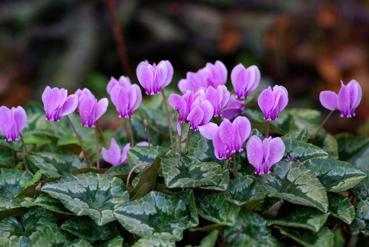 fiori ciclamino