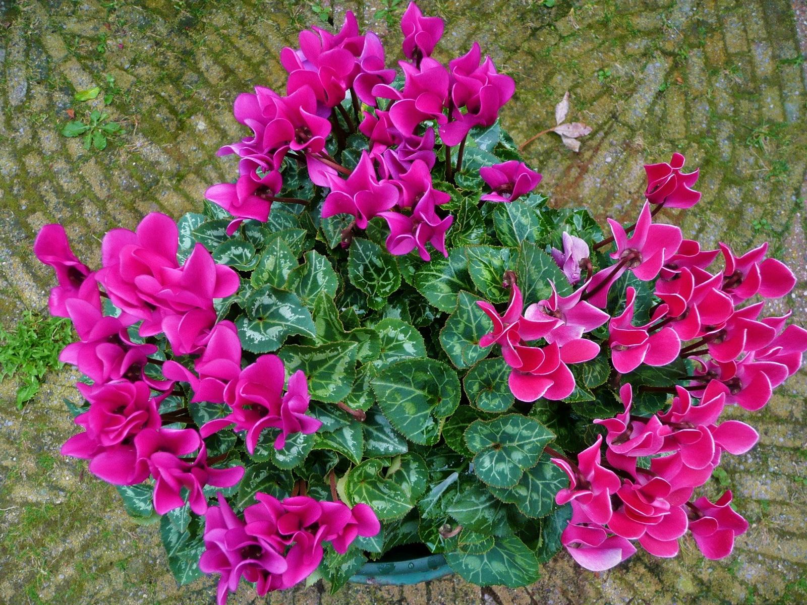 Ciclamini come curarli piante appartamento ciclamini cura for Zamioculcas cura