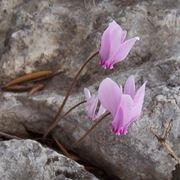 ciclamino fiore