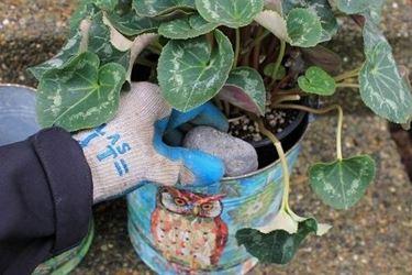 Coltivazione della pianta da ciclamino