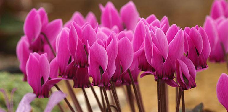 <h6>Ciclamino</h6>Il Ciclamino � una pianta molto diffusa nella nostra societ� come pianta decorativa d'appartamento, luogo in cui sopravvive e fiorisce moltissimo anche per anni se si utilizzano gli accorgimenti giusti.