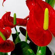 Pianta anthurium rosso