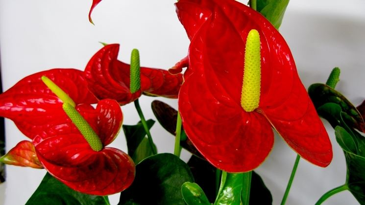 Pianta <strong>anthurium</strong> rosso