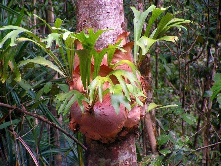 Platicerium bifurcatum