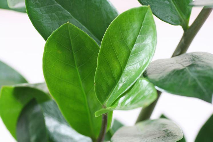 Fogliame piante sempreverdi